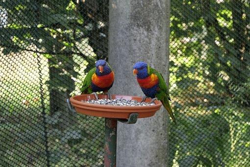 Animal World, Birds, Parrot, Loris, Honey Parrot