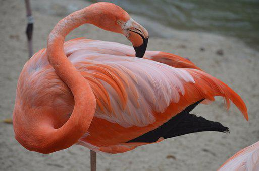 Flamingo, San Diego Zoo, Pink, Tropical, Nature