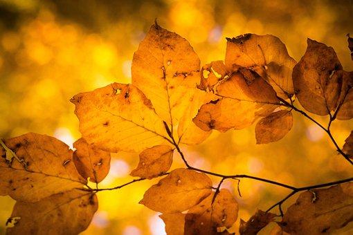 Fall Foliage, Leaves, Nature, Golden, Fall Leaves