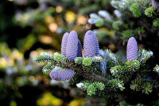 Korea Fir, Fir Tree, Pine Cones, Tree, Pinecone