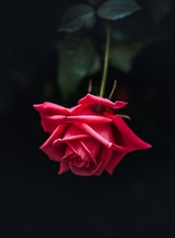Rose, Flower, Plant, Nature, Red Rose, Gift