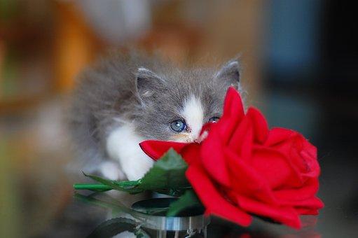 Cat, Kitten, Jam, Cute, Charming, Rose, Red, Fluffy