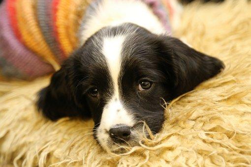 Cute, Puppy, Snuggly, Spaniel, Blaze, Soft, Comfortable