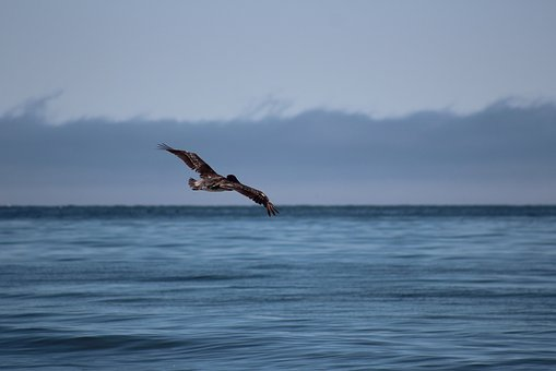 Pismo Beach, California, Usa, Bird, Flight, Beach