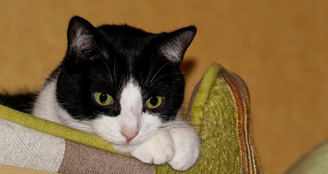 Cat, Black, White, Pet, Cat's Eyes, Kitten, View