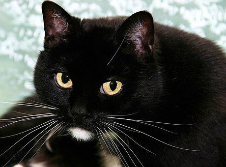 Cat, Black, White, Domestic Cat, Pet, Animal, Kitten