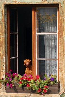 Dog, Hunting Dog, Age, Old, Old Dog, Window, Balcony