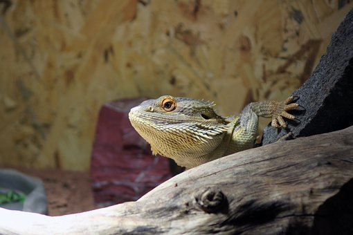 Pogona, Pogona Vitticeps, Bearded, Dragon, Animal