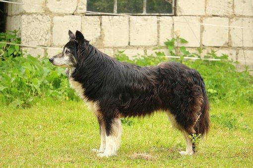 Dog, Border, Border Collie, Herding Dog
