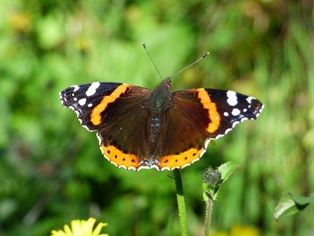 Insect, Butterfly, Vulcan, Vanessa Atalanta