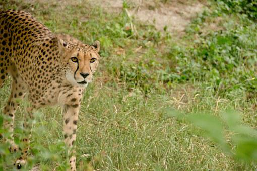 Cheetah, Predator, Cat, Big Cat, Carnivores, Africa