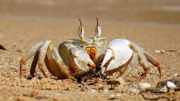 Crabs, Crab, Sea, Pliers, Public Record, Cancer