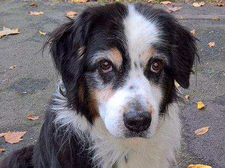 Dog, Australia Shepard, Black Tri, Pet, Brown Dog Eyes