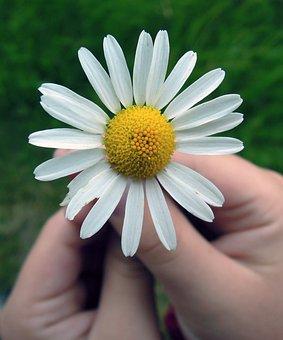 Daisy, Flower, Hands, Summer, Closeup