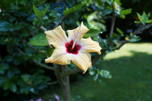 Mallow, Flower, Yellow, Plant, Hibiscus