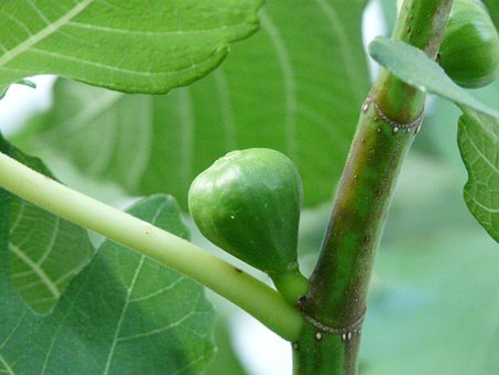Real Coward, Ficus Carica, Fig, Fruit, Eat, Food, Green