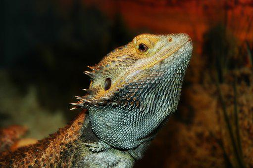 Lizard, Pet, Dragon, Bearded