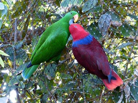 Noble Parrots, Parrots, Couple, Love, Kiss, Pair