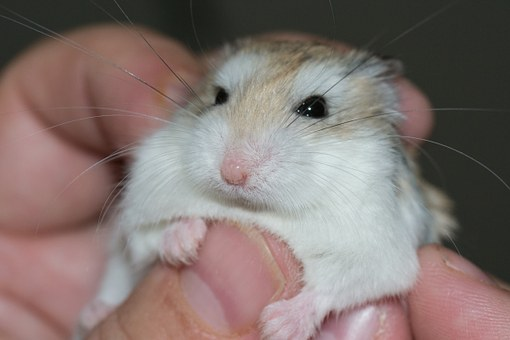 Hamster, Palm, Transmission, Love, Petting