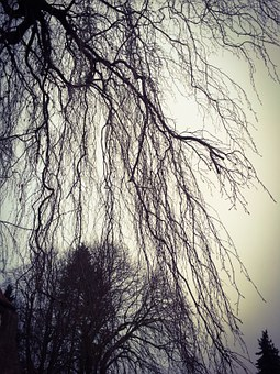 Weeping Willow, Kahl, Tree, Plant, Blätterlos, Nature