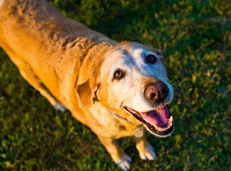 Old Dog, Yellow, Lab, Labrador, Retriever, Summer