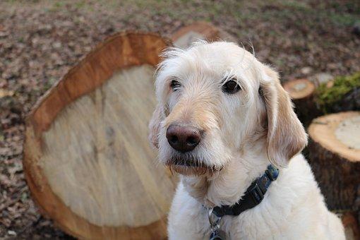 Dog, Labradoodle, Pet, Old, Wet, Outdoors, Sad Eyes