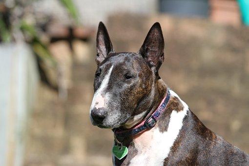 Bull, Terrier, Dog, Animal, Canine, Purebred, Pet, Cute