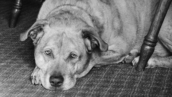 Dog, Pit Bull, Labrador, Mixed Breed, Pet, Pit, Animal