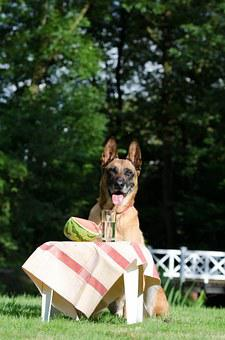 Malinois, Piknik, Melon, Belgian Shepherd Dog