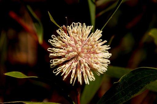 Pin Cushion Hakea, Hakea Laurina, Flower, Australian