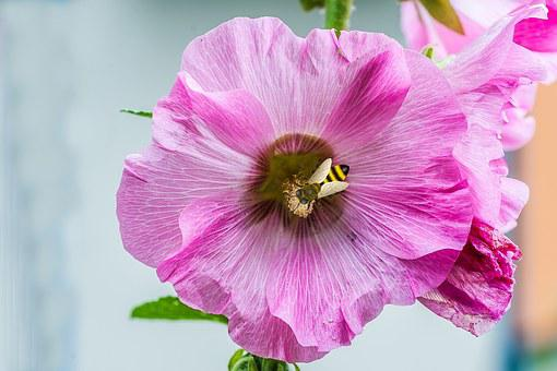Blossom, Bloom, Bee, Macro, Nature, Mallow, Pink