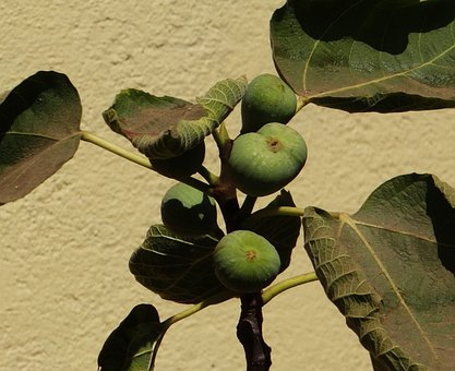 Fig, Ficus Carica, Anjeer, Raw, Plant, Leaves