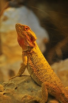 Reptile, Yellow, Lizard, Bearded Dragon, Animal