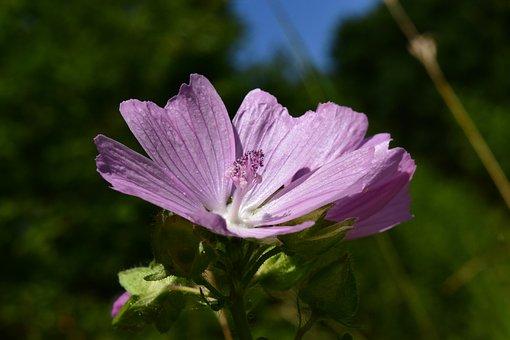 Roses-mallow, Malva Alcea, Rose Mallow