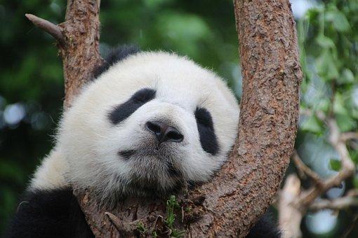 Panda, Panda Bear, Sleep, Rest, Relax, China, Mammal