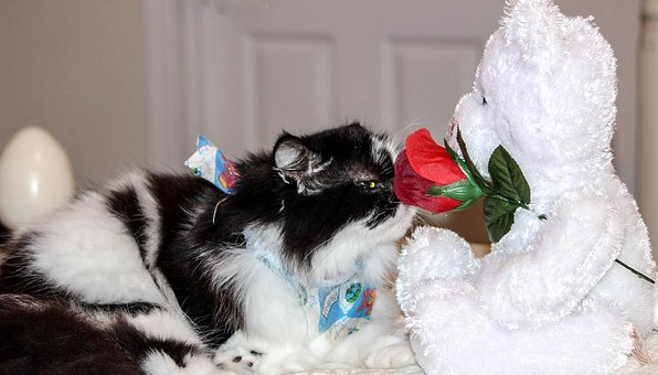 Cat, Feline, Himalayan Persian, Smelling Flower, Cute