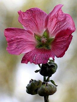 Mallow, Stock Rose, Blossom, Bloom, Bud