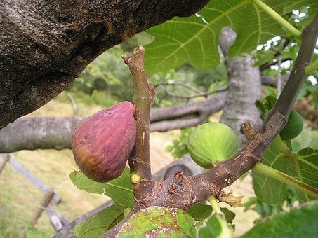 Ficus Carica, Fig, Ficus, Euro Dynasty, Fruit, Sweet