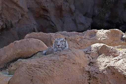 Tiger, White Tiger, Feral Cat, Predator, Animal, Rocks