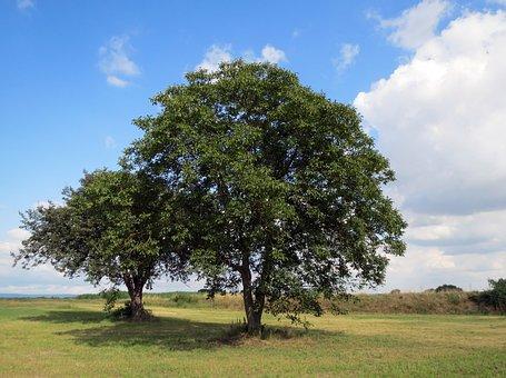 Walnut, Tree, Common Walnut, English Walnut