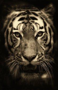 Tiger, Africa, Purry, Zoo, Predator, Wildlife, Fur
