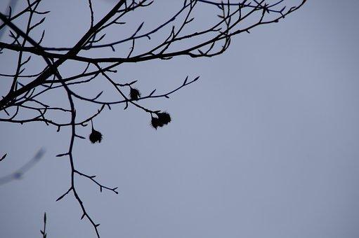 Beech Nuts, Beech, Silhouette, Branches, Sky, Winter