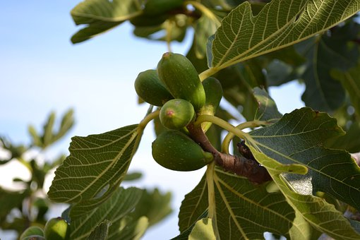Wild Fig, Common Fig, Ficus Carica, Young Fruit, Green