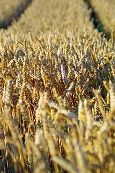 Cereals, Barley, Nature, Agriculture, Field, Cornfield