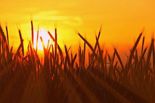 Harvest, Cereals, Agriculture, Summer, Nature, Field