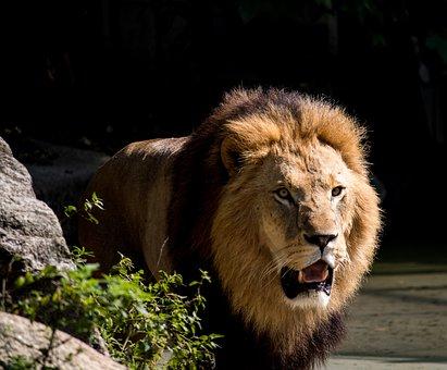 Lion, Predator, Male, Animal, Animal World, Mane