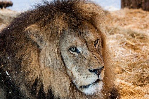 Lion, Predator, Big Cat, Animal, Mammal, Africa