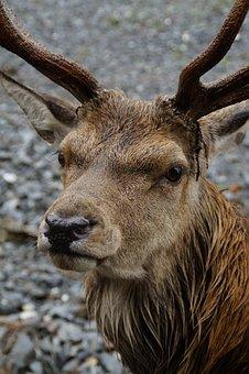Hirsch, Red Deer, Wild, Animal World, Animal