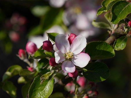 Apple Blossom, Flower, Apple Tree, Spring, Nature