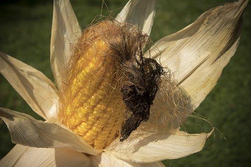 Corn On The Cob, Corn, Zea Mays, Cereals, Food, Autumn
